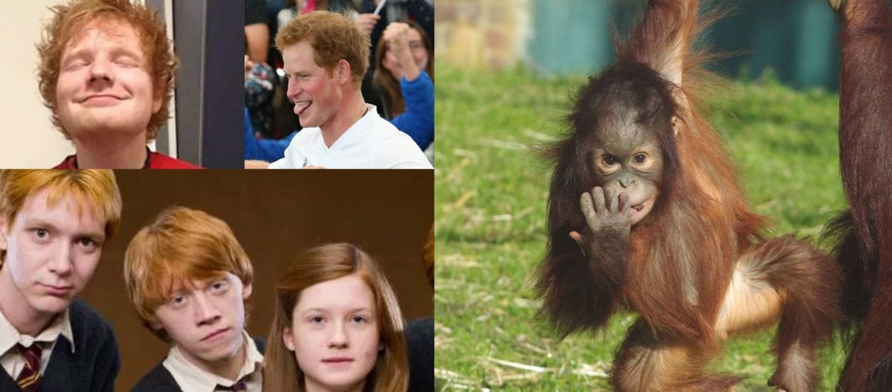 Zoo gives free access to gingers for World Orangutan Day